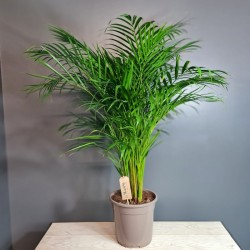 Arecas palm