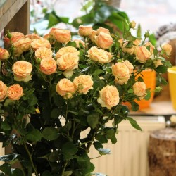 Orange bush roses 60cm