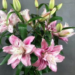 White or pink lilies